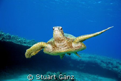 The Hawaiian Green Sea Turtle. &quot;Honu&quot;. This shot was take... by Stuart Ganz 